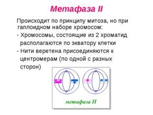 Метафаза II Происходит по принципу митоза, но при гаплоидном наборе хромосом: