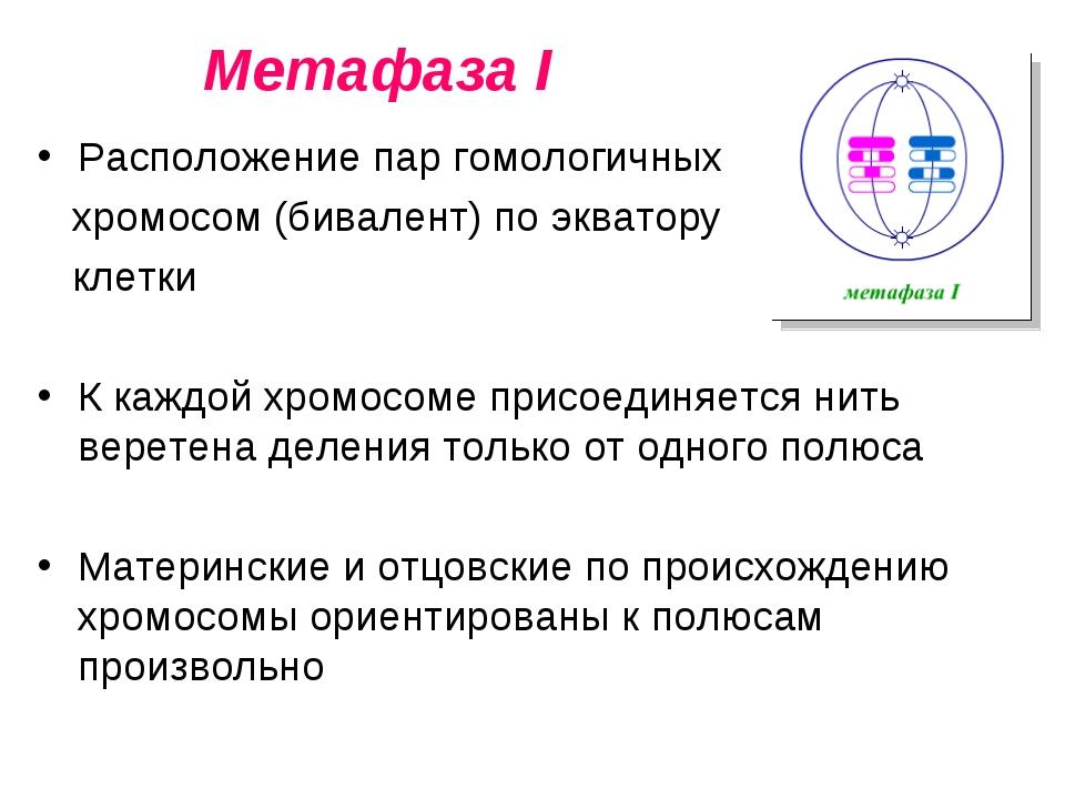 Метафаза I Расположение пар гомологичных хромосом (бивалент) по экватору клет...