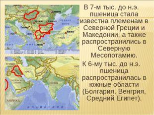 В 7-м тыс. до н.э. пшеница стала известна племенам в Северной Греции и Македо