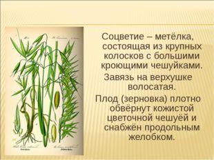 Соцветие – метёлка, состоящая из крупных колосков с большими кроющими чешуйка
