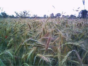 К условиям выращивания рожь менее требовательна, чем пшеница, в особенности к
