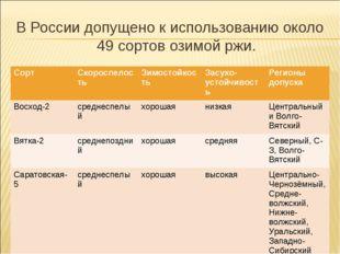 В России допущено к использованию около 49 сортов озимой ржи. СортСкороспело
