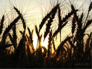 Пшеница – род травянистых, в основном однолетних, растений. Ведущая зерновая