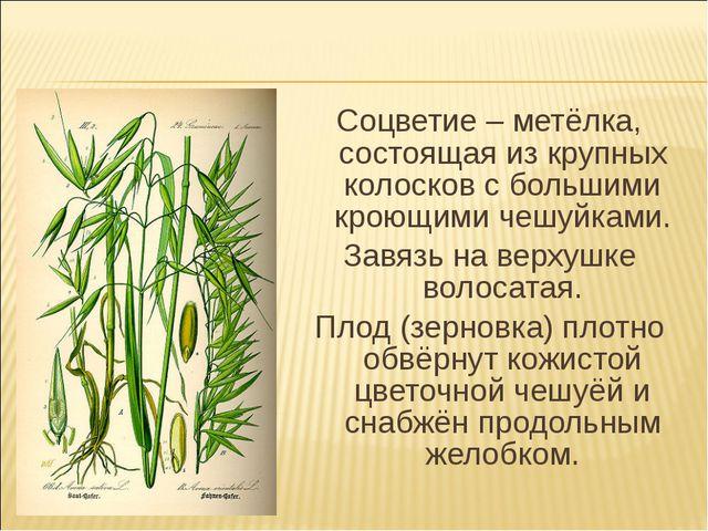 Соцветие – метёлка, состоящая из крупных колосков с большими кроющими чешуйка...