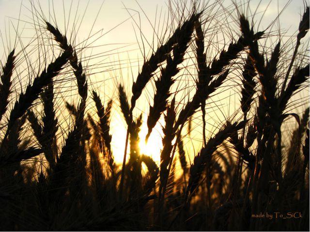 Пшеница – род травянистых, в основном однолетних, растений. Ведущая зерновая...