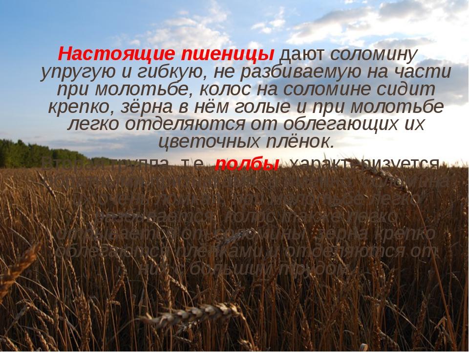 Настоящие пшеницы дают соломину упругую и гибкую, не разбиваемую на части при...