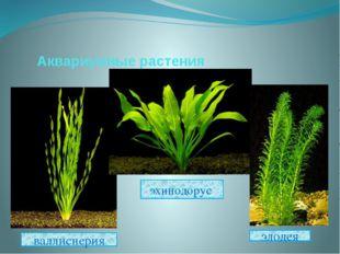 Аквариумные растения эхинодорус валлиснерия элодея