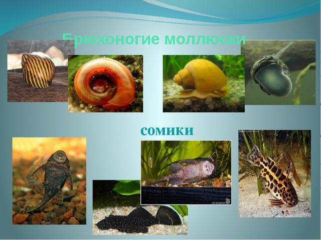 Брюхоногие моллюски сомики