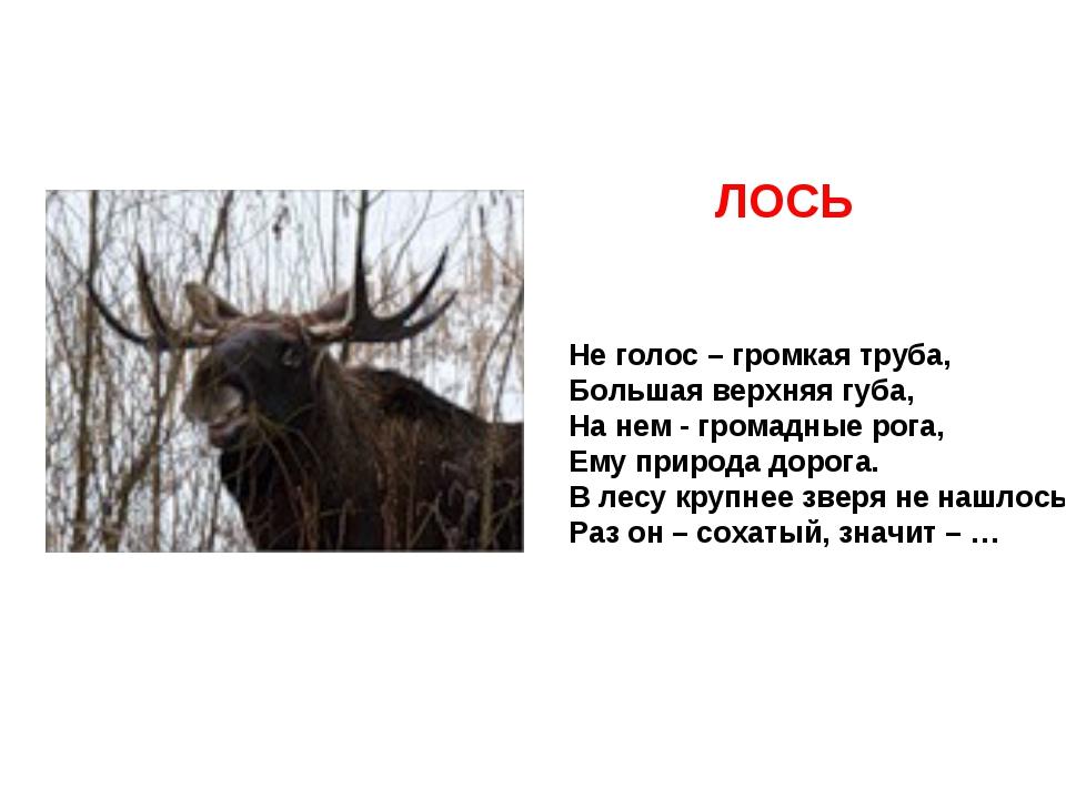 Не голос – громкая труба, Большая верхняя губа, На нем - громадные рога, Ему...