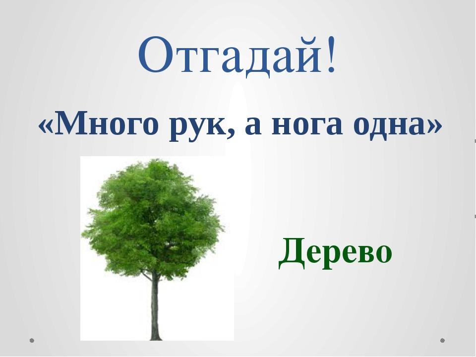 Отгадай! «Много рук, а нога одна» Дерево