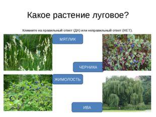 Какое растение луговое? Кликните на правильный ответ (ДА) или неправильный от