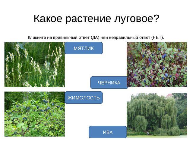 Какое растение луговое? Кликните на правильный ответ (ДА) или неправильный от...