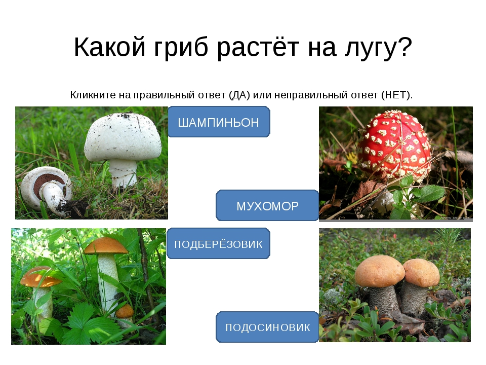 Какой гриб растёт на лугу? Кликните на правильный ответ (ДА) или неправильный...