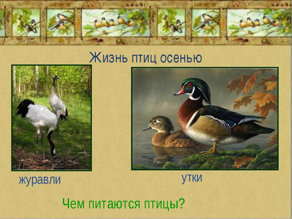 Жизнь птиц осенью Чем питаются птицы? журавли утки