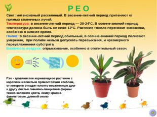 Р Е О Рэо - травянистое корневищное растение с коротким мясистым прямостоячим