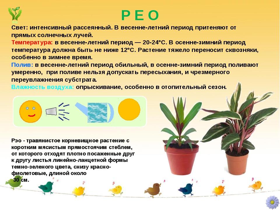 Р Е О Рэо - травянистое корневищное растение с коротким мясистым прямостоячим...
