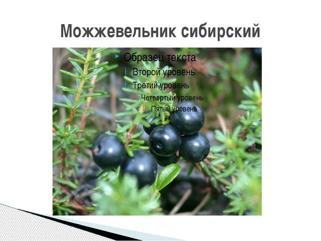 Можжевельник сибирский