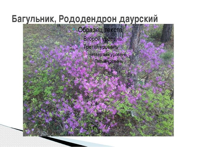 Багульник, Рододендрон даурский