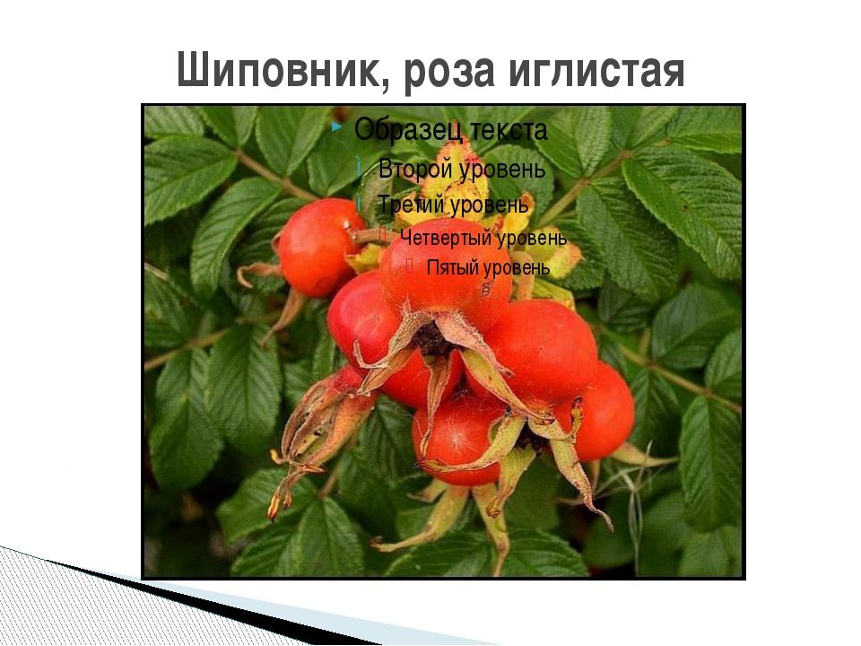 Шиповник, роза иглистая