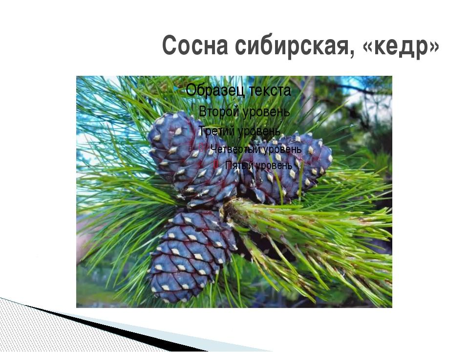Сосна сибирская, «кедр»