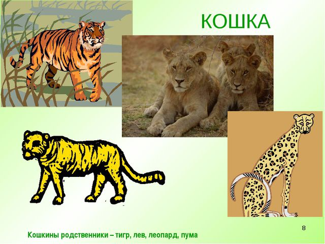 * КОШКА Кошкины родственники – тигр, лев, леопард, пума