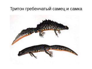Тритон гребенчатый самец и самка