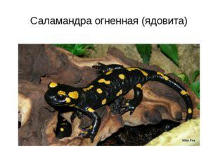 Саламандра огненная (ядовита)