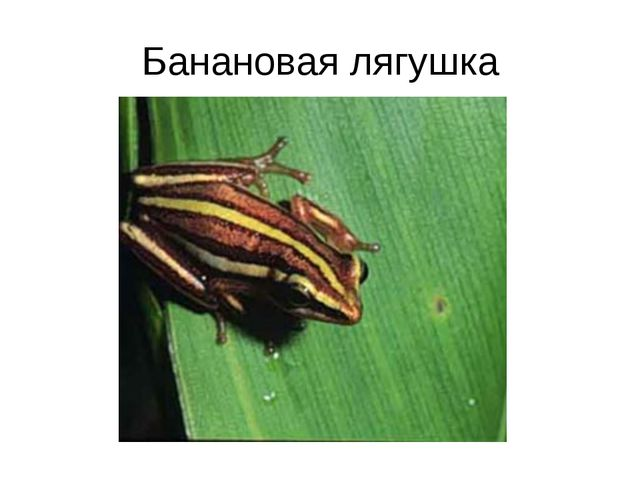 Банановая лягушка