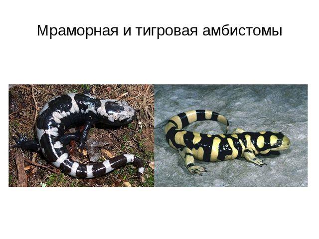 Мраморная и тигровая амбистомы