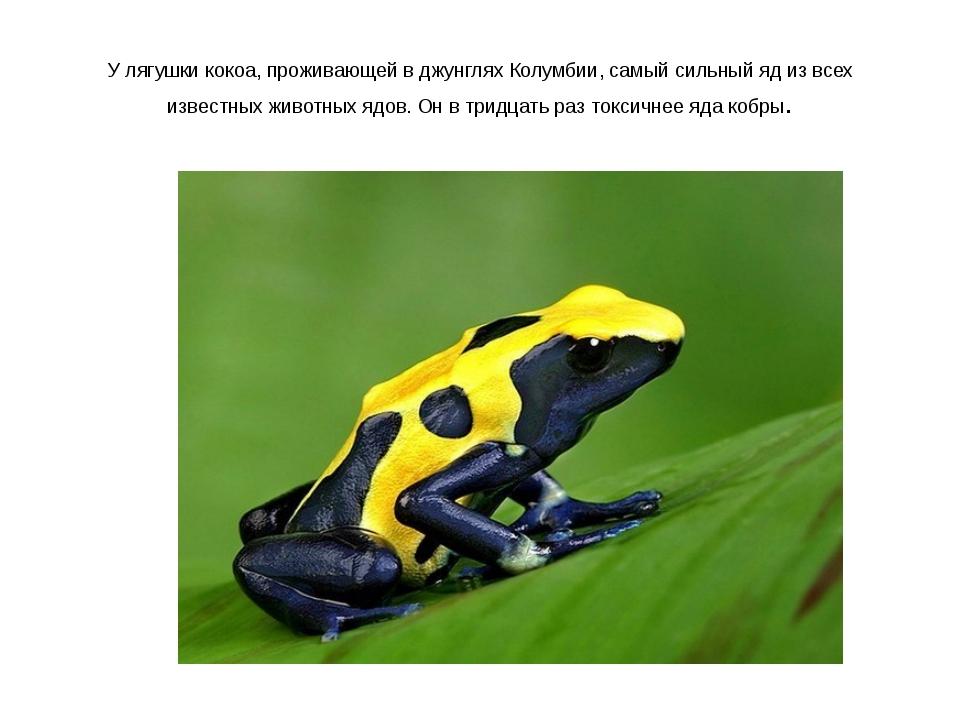 У лягушки кокоа, проживающей в джунглях Колумбии, самый сильный яд из всех из...