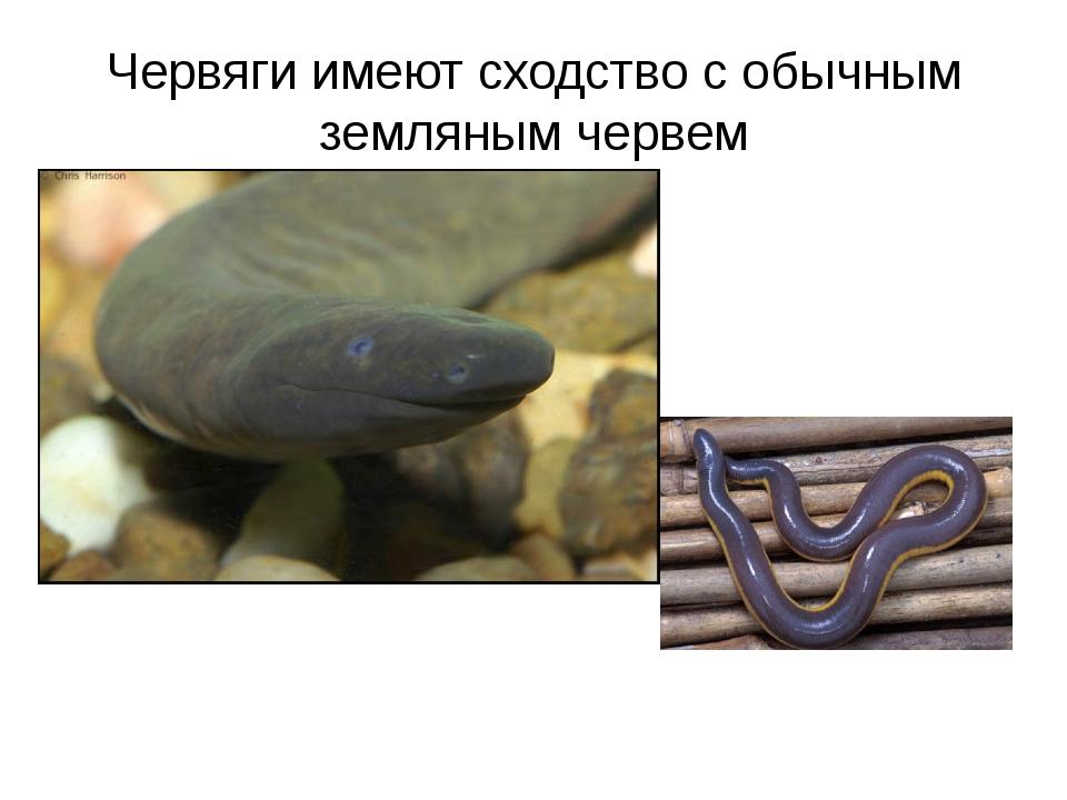 Червяги имеют сходство с обычным земляным червем