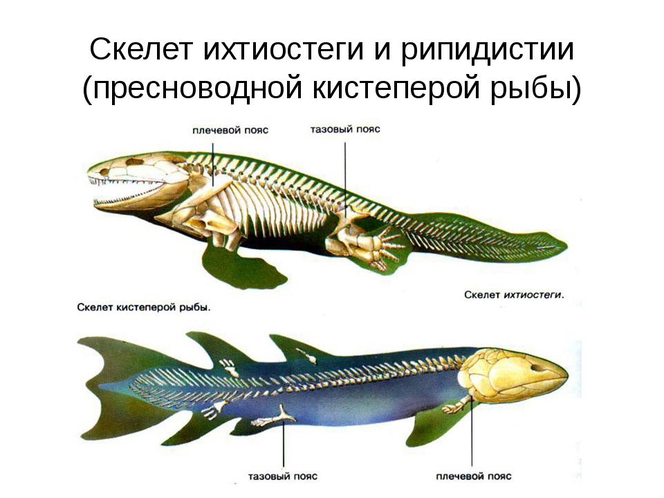 Скелет ихтиостеги и рипидистии (пресноводной кистеперой рыбы)