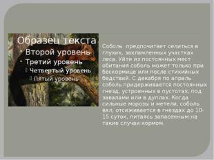 Соболь предпочитает селиться в глухих, захламленных участках леса. Уйти из п