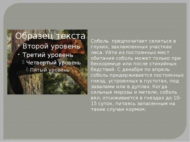 Соболь предпочитает селиться в глухих, захламленных участках леса. Уйти из п...