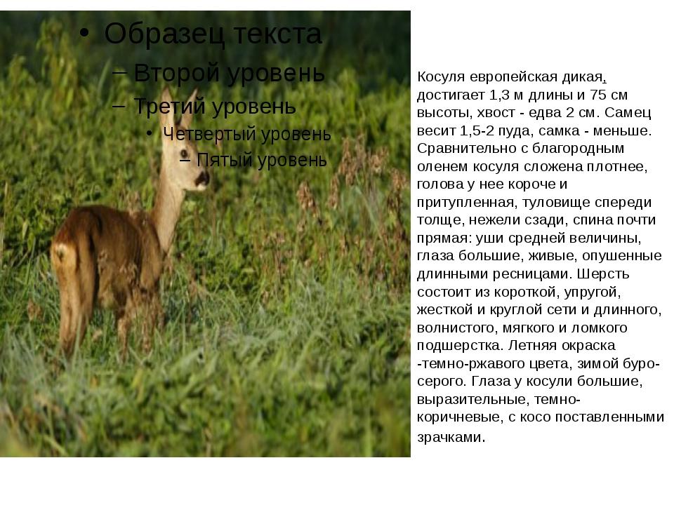 Косуля европейская дикая, достигает 1,3 м длины и 75 см высоты, хвост - едва...