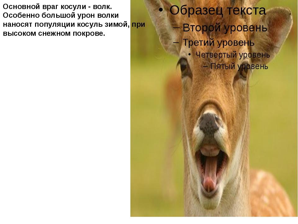 Основной враг косули - волк. Особенно большой урон волки наносят популяции к...