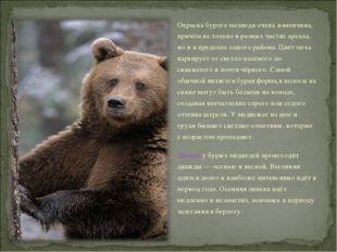Окраска бурого медведя очень изменчива, причём не только в разных частях ареа