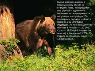 Бурый медведь внесён в Красную книгу МСОП со статусом «вид, находящийся под у