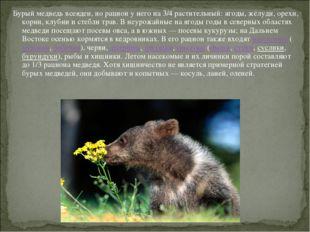 Бурый медведь всеяден, но рацион у него на 3/4 растительный: ягоды, жёлуди, о