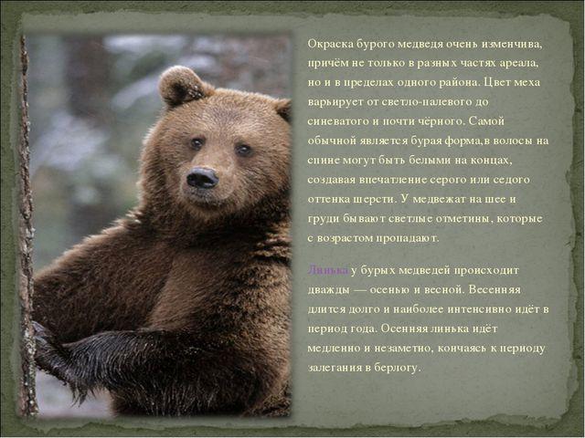 Окраска бурого медведя очень изменчива, причём не только в разных частях ареа...