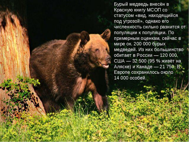 Бурый медведь внесён в Красную книгу МСОП со статусом «вид, находящийся под у...
