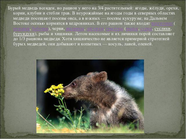 Бурый медведь всеяден, но рацион у него на 3/4 растительный: ягоды, жёлуди, о...