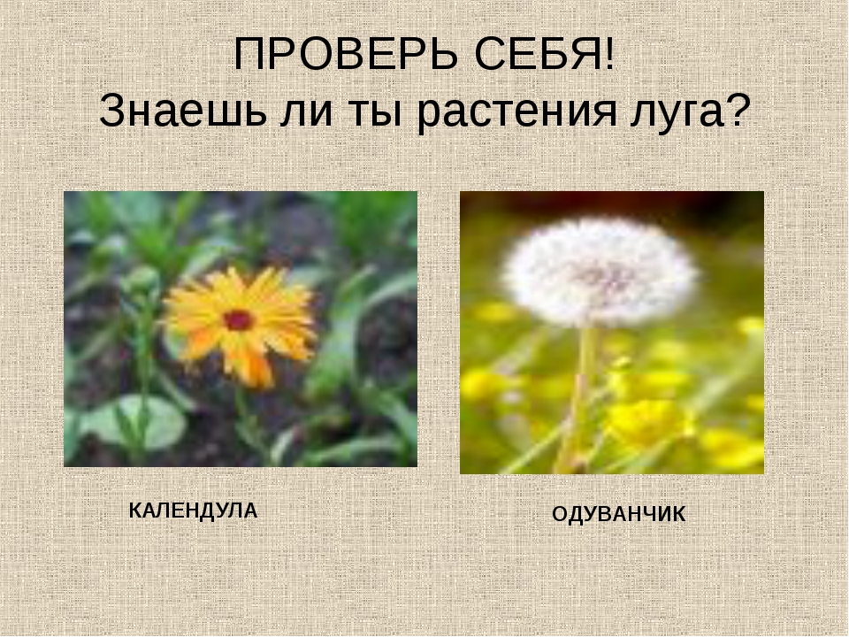 ПРОВЕРЬ СЕБЯ! Знаешь ли ты растения луга? КАЛЕНДУЛА ОДУВАНЧИК
