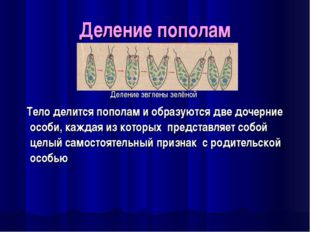 Деление пополам Деление эвглены зелёной Тело делится пополам и образуются две
