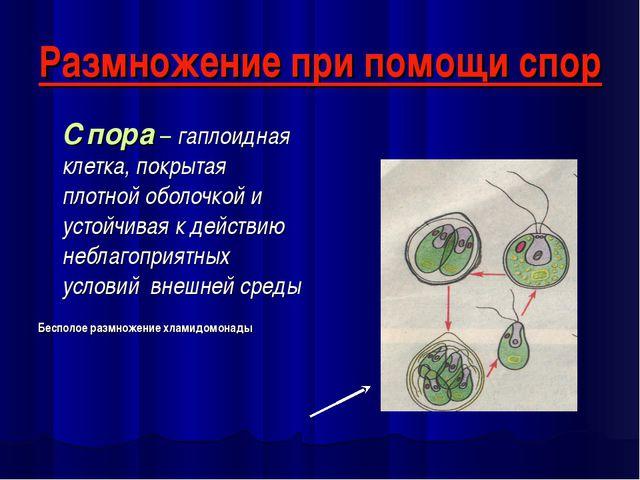 Размножение при помощи спор Спора – гаплоидная клетка, покрытая плотной оболо...