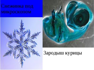 Снежинка под микроскопом Зародыш курицы