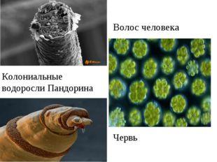 Волос человека Колониальные водоросли Пандорина Червь