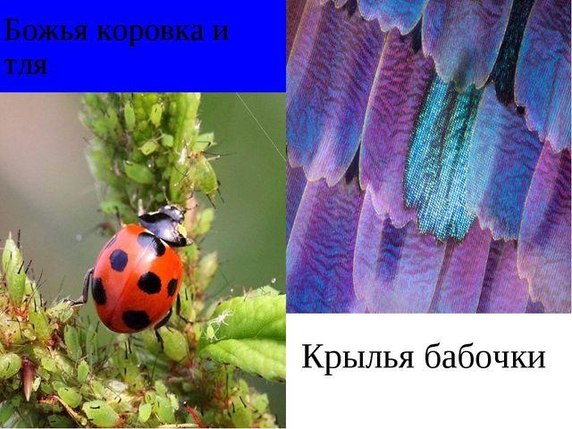 Божья коровка и тля Крылья бабочки