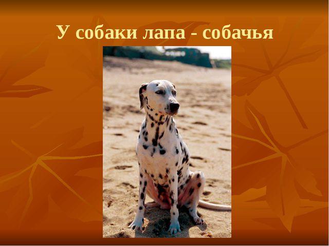 У собаки лапа - собачья