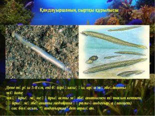 Қандауыршаның сыртқы құрылысы Дене тұрқы 5-8 см, екі бүйірі қысыңқы, арқа жүз
